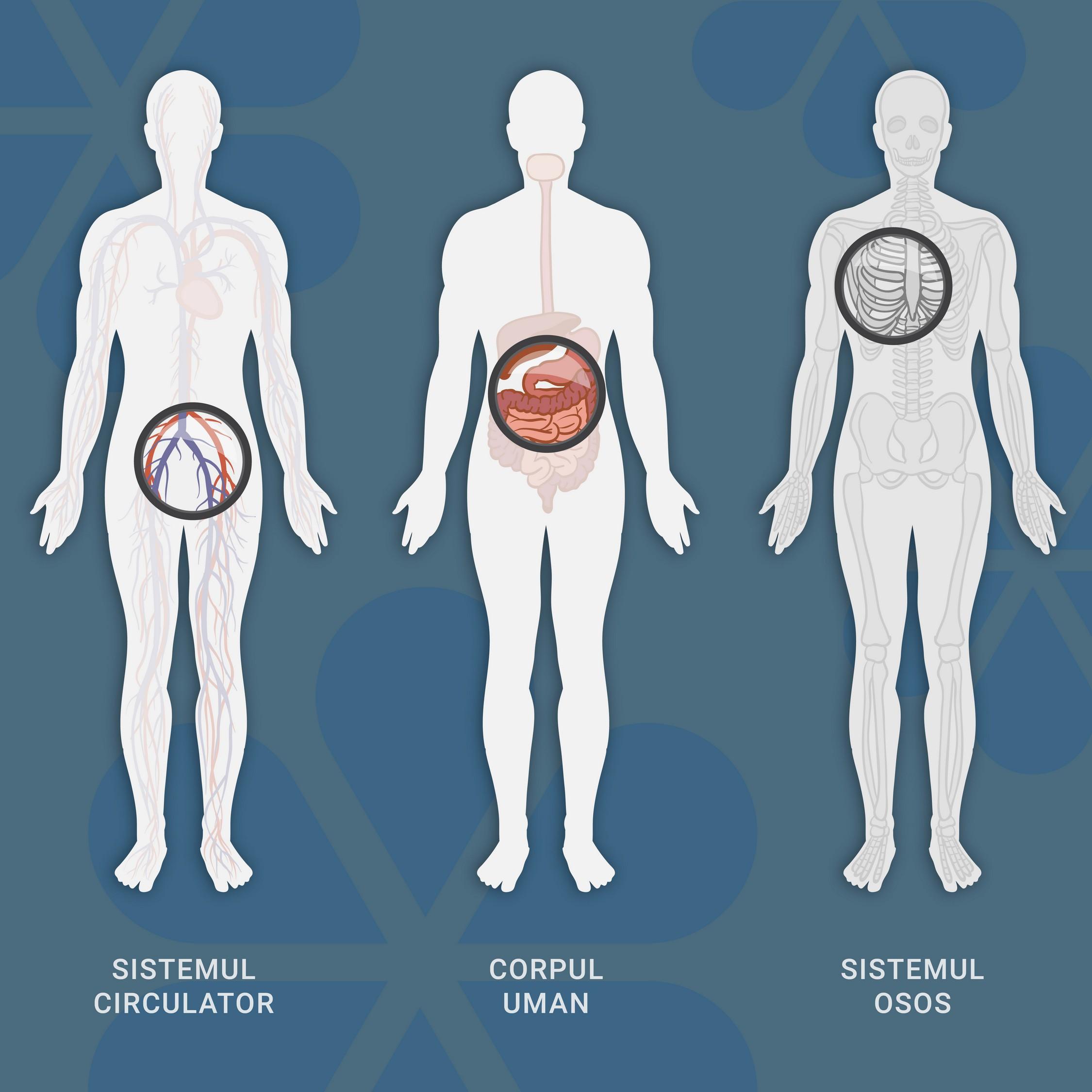 Synevo анатомическая панель